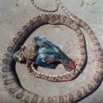 Crab catcher in narrow encounter with deadly diamond-head snake