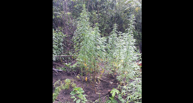 The marijuana field which was destroyed by the police