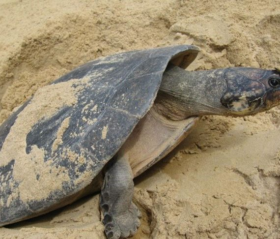 Turtle Festival for Yupukari this weekend