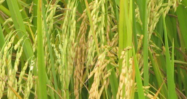 A-new-rice-variety