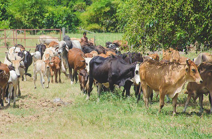 Sundarban cattle farm at Hopeland, East Coast Demerara. (Adrian Persaud photo)