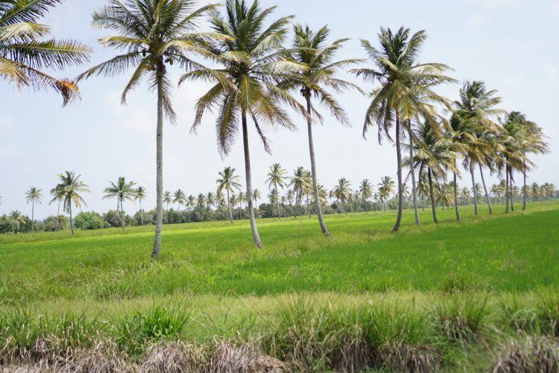 Rice fields in Branch Road, Mahaicony