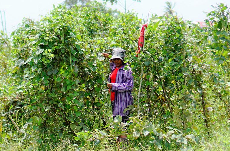 Seema Iana picking bora on her farm