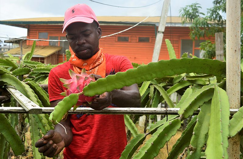 "Wayne Charles, commonly known as ""Trini,"" tending to his dragon fruit plants on his farm located at the Guyana Sugar Corporation's (GuySuCo) Blairmont Estate, West Bank Berbice (Richard Bhainie photo)"