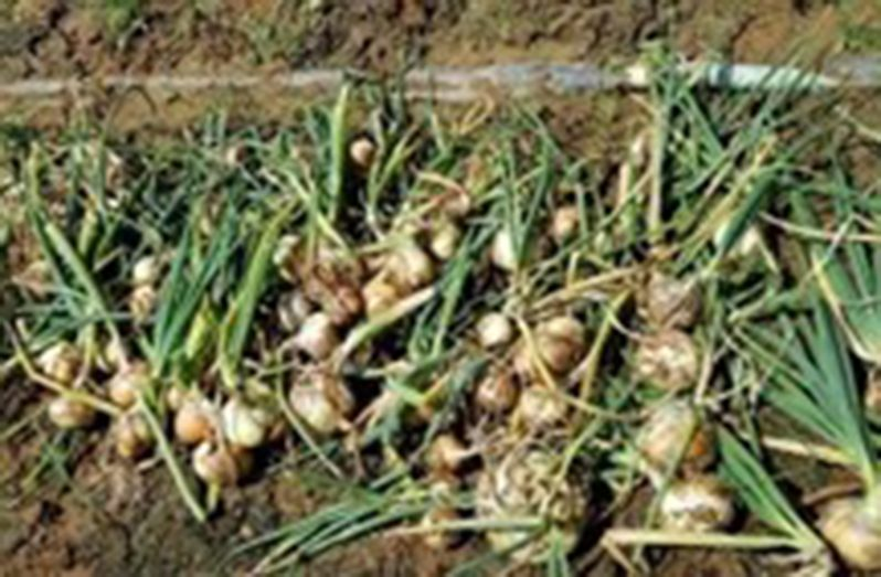 Onion Harvested at Phillipi Region 6