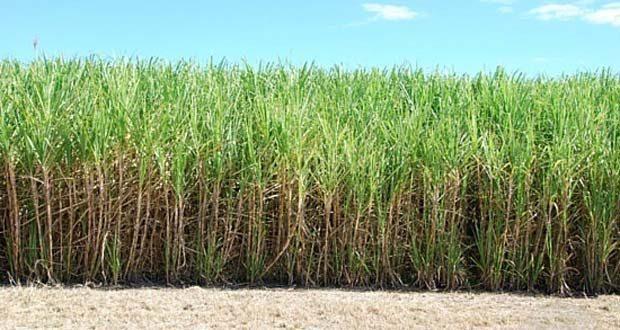 sugar-cane-field