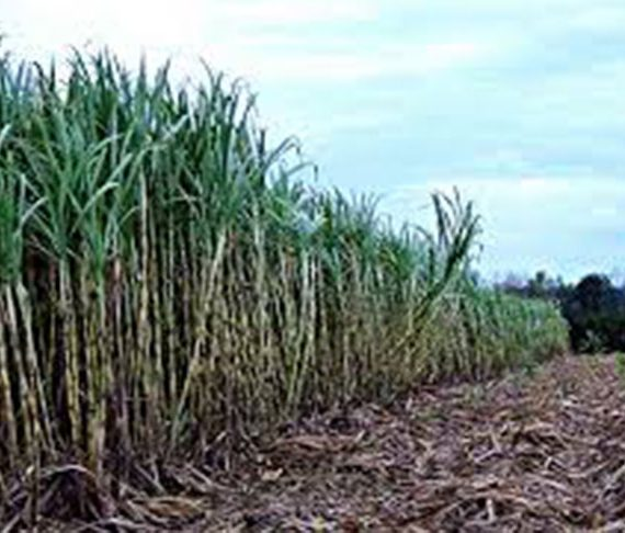 Rain taking toll on first crop-GuySuCo